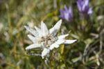 Thumbnail Edelweiss Leontopodium alpinum, Alps, Austria, Europe