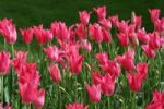 Thumbnail Tulips Tulipa
