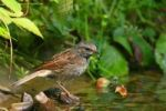 Thumbnail Dunnock Prunella modularis in a brook