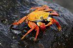 Thumbnail Red Clip Crab Grapus grapus, Espanola Island, Galapagos, Ecuador, South America