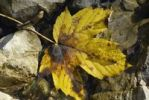 Thumbnail Fallen autumnal maple leaf in a puddle of water, near Schleching, Bavaria, Germany, Europe