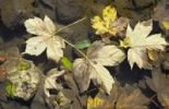Thumbnail Fallen autumnal maple, beech and ash leaves in a puddle of water, near Schleching, Bavaria, Germany, Europe