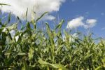 Thumbnail Maize Zea mays, field under a blue sky, Upper Bavaria, Germany, Europe