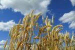 Thumbnail Ripe Wheat Triticum aestivum, wheat ears and blue sky, Upper Bavaria, Bavaria, Germany, Europe