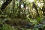 Thumbnail Primeval fern forest by the Copland Track, West Coast, South Island, New Zealand