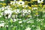 Thumbnail Summer meadow with oxeye daisys and yellow crowfood