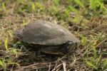 Thumbnail Eastern River Cooter Pseudemys concinna