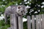 Thumbnail Kitten on weathered fence