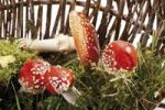 Thumbnail Fly Agaric or Fly Amanita mushroom Amanita muscaria in a basket