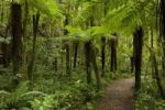 Thumbnail Footpath through the rain forest of the Kahurangi National Park, West Coast, South Island, New Zealand