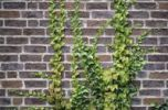 Thumbnail Common Ivy Hedera helix and Japanese Ivy Parthenocissus tricuspidata growing on a brick wall