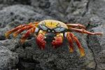 Thumbnail Red Rock Crab Grapsus grapsus, Espaola Island, Galapagos, Ecuador, South America