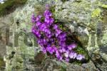 Thumbnail Stinking Primerose Primula hirsuta Alps