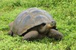 Thumbnail Galapagos Giant Tortoise Geochelone elephantopus, Galapagos, Ecuador, South America