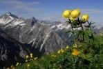 Thumbnail Globe Flower Trollius europaeus with panoramic view of mountain peaks, Pfafflar, Elmen, Lechtal Valley, Tirol, Austria, Europe
