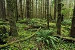 Thumbnail Ferns and lush ground vegetation in the rainforest, Olympic National Park, Washington, USA, North America