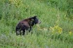 Thumbnail American Black Bear Ursus americanus on a meadow, Mount Rainier National Park, Washington, USA, North America