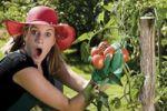 Thumbnail Surprised female gardener harvesting tomatoes