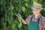 Thumbnail Proud gardener harvesting string beans