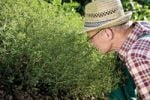 Thumbnail Gardener in front of his fragrant savory patch