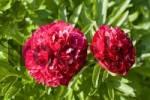 Thumbnail Red peonies