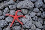 Thumbnail Sea star on black volcanic rock at Stromboli Beach, Stromboli Island, Aeolian Islands, Southern Italy, Europe