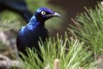 Thumbnail Greater Blue-eared Glossy-Starling Lamprotornis chalybaeus