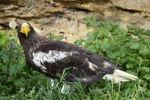 Thumbnail Stellers Sea-Eagle Haliaeetus pelagicus