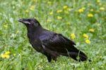 Thumbnail Common Raven Corvus corax
