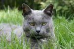 Thumbnail Blue British Shorthair Cat Felis catus