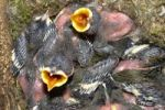Thumbnail Blue Tits Cyanistes caeruleus, chicks with open beaks waiting to be fed