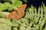 Thumbnail Silver-Washed Fritillary Argynnis paphia, male