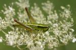 Thumbnail Locust on umbel