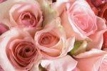 Thumbnail Pink roses