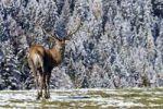 Thumbnail Red Deer Cervus elaphus, Austria, Europe