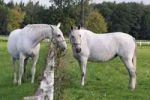 Thumbnail White Kladruber horses from Kladruby nad Labern national stud farm, Pardubice region, Bohemia, Czech Republic, Europe
