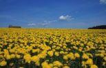 Thumbnail Dandelion Taraxacum officinale field in the Allgaeu region of Germany