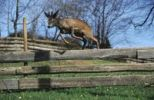 Thumbnail Male Roe Deer Capreolus capreolus jumping over a wooden gate