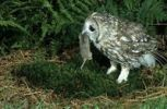Thumbnail Tawny Owl Strix aluco with a Water Vole Arvicola terrestris