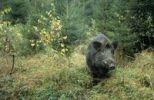 Thumbnail Wild Boar Sus scrofa in autumn
