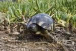 Thumbnail Spur-thighed mediterranean land tortoise, Sardinia