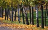 Thumbnail Autumnal avenue with birch trees and autumn foliage