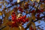 Thumbnail Rowan berries Sorbus aucuparia on a tree