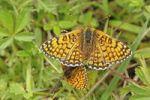 Thumbnail Glanville Fritillary Melitaea cinxia mating