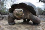 Thumbnail Galapagos Tortoise or Galapagos Giant Tortoise, Geochelone elephantopus, Galapagos Islands, Ecuador, South America