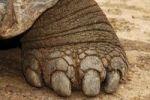 Thumbnail Galapagos Tortoise or Galapagos Giant Tortoise, foot, Geochelone elephantopus, Galapagos Islands, Ecuador, South America