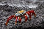 Thumbnail Sally Lightfoot Crab Grapsus grapsus, Galapagos Islands, Ecuador, South America