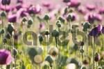 Thumbnail poppy field
