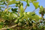 Thumbnail Common Fig Tree Ficus carica with fruit