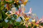 Thumbnail European Honeysuckle Lonicera periclymenum, blossoms